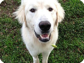 sig adopted dog austin tx great pyreneesgolden