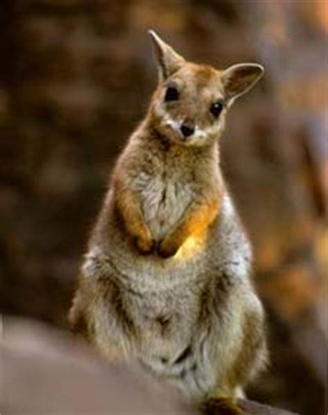 short eared rock wallaby animal  fandom