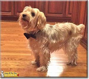 Spunky - Yorkshire Terrier/Silky Terrier mix - March 6, 2017