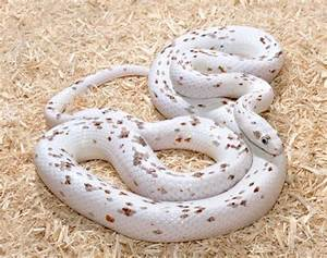 Palmetto Corn Snake Color Morph | Cold Blooded Beauty ...