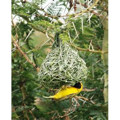 Joburg Expat: Weaver Bird Nests (How Men Can Never Get it