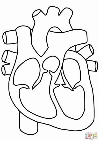 Ausmalbilder Herz Heart Coloring Human