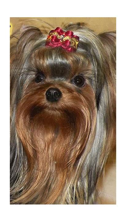 Terrier Yorkshire Puppy Yorkie Puppies Dog Dogs