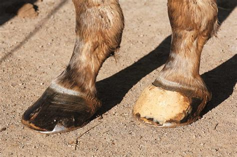 horse hoof care hooves thoroughbred