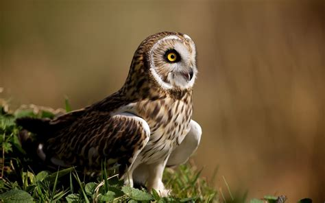 Nature, Animals, Birds, Owl Wallpapers Hd  Desktop And