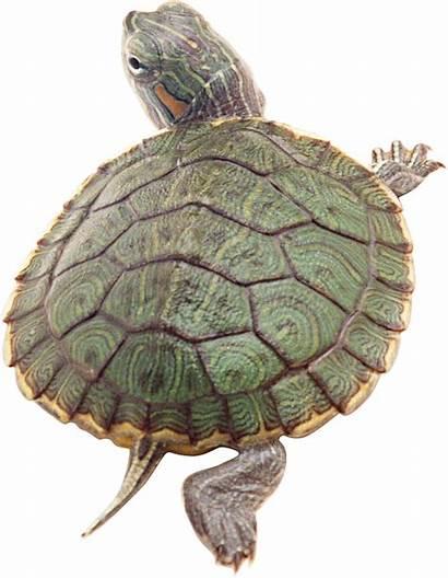 Turtle Clipart Slider Reptile Box Transparent Turtles
