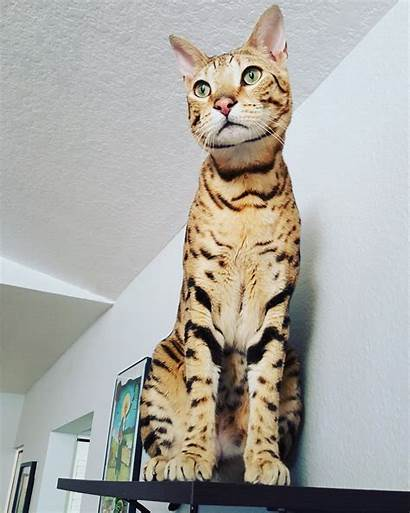 Cat Savannah Zeus Cats Kitty Chat