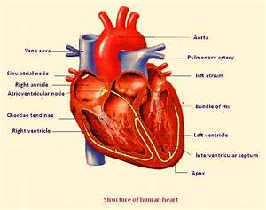 Human Heart Labeled Diagram