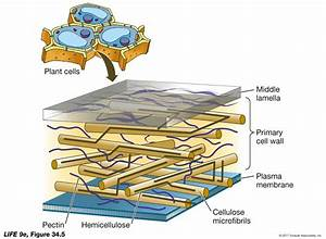 Plant Cell Wall Structure - Biology Forums Gallery