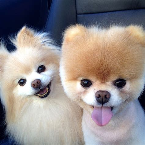 pomeranian puppies rescue pictures information