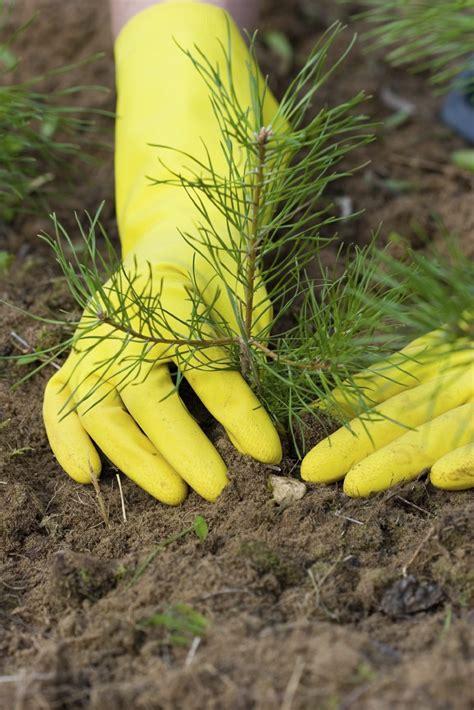 pine tree growing   grow   pine trees