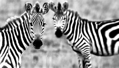 wallpaper zebra black white couple cute animals