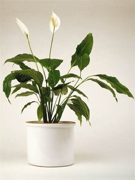 indoor lilies the easiest indoor house plants that won t die on you today com