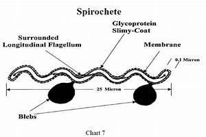 Biochemistry Of Lyme Disease  Borrelia Burgdorferi