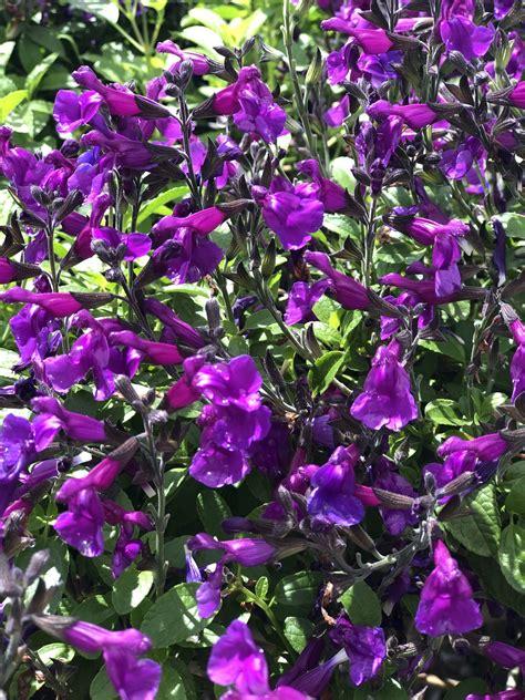 Salvia Ignition Purple Victorian Salvia Study Group