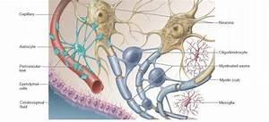 Types Of Neuroglia - Physiology