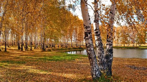 Birches and pond in the autumn - HD wallpaper download ...