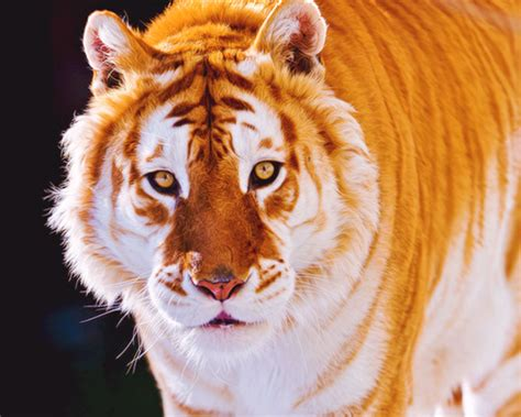 Marvel The Majestic Rare Golden Tiger