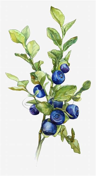 Botanical Blueberries Blueberry Watercolor Clipart Tree Drawing