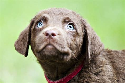 when do puppies open there when will my puppy s eye color be permanent cuteness