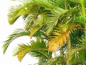 Palme Gelbe Blätter : goldfruchtpalme bekommt gelbe bl tter woran liegt 39 s ~ Lizthompson.info Haus und Dekorationen