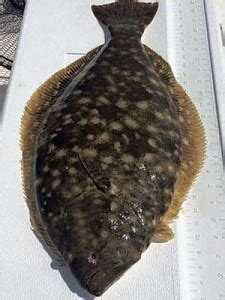 Flounder Doormat by What S Biting Flounder Gigging Doesn T Waver Gulf