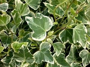 Kübelpflanzen Winterhart Schattig : hedera helix 39 white wonder 39 efeu pflanzen versand f r ~ Michelbontemps.com Haus und Dekorationen