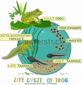 Life Cycle Frog Stock Vector  Royalty Free  317950856