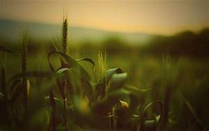 Wheat 814838 - WallDevil