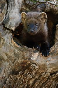 fisher cat images wildlife photography fisher cat images jeff wendorff
