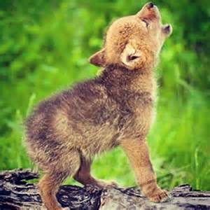 Cute Baby Coyotes