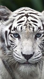 Best 33+ Tiger Phone Wallpaper on HipWallpaper | Awesome ...