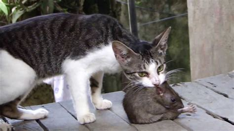 fight cat vs huge rat youtube