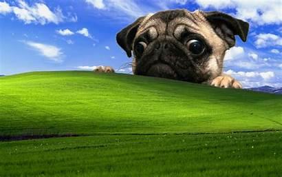 Desktop Windows Pug Xp Backgrounds Funny 3d