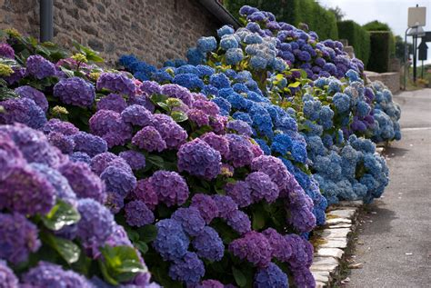 in bloom magnificent blue hydrangeas cox