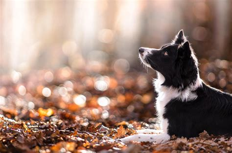 Fall Backgrounds Dogs by Animal Fall Wallpaper 60 Images
