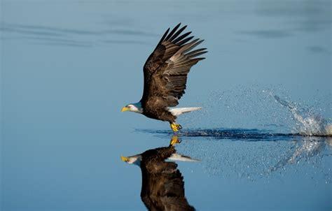 wallpaper lake splash reflection wildlife bald eagle
