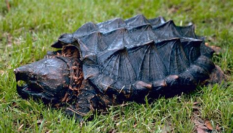 aligator cuisine i had no idea alligator snapping turtles could do this