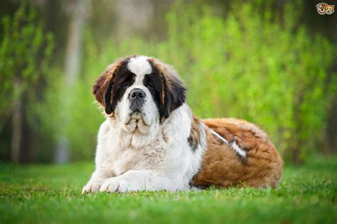 do st bernards shed all year the bernard and disease pets4homes