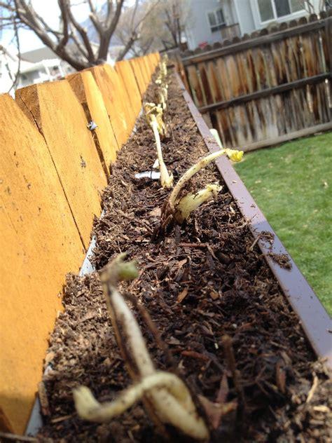 Erdbeeren Pflanzen In Regenrinne Am Zaun Geniale Idee