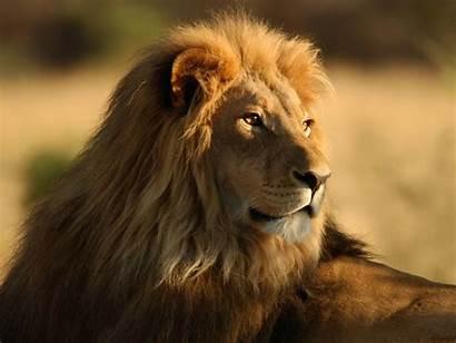 Lion Male Wallpapers Backgrounds Lions 3d Desktop