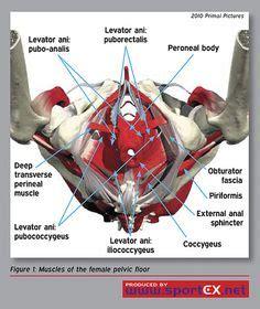 images  pelvic floor anatomy  pinterest