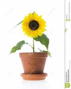 Sunflower Royalty Free Stock Photography - Image: 33346337