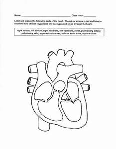 The Circulatory System Worksheet