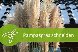 Pflanzen Schneiden Kalender : pampasgras schneiden worauf beim r ckschnitt zu achten ist ~ Orissabook.com Haus und Dekorationen