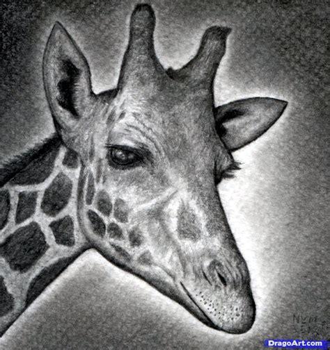 draw  giraffe head step  step safari animals