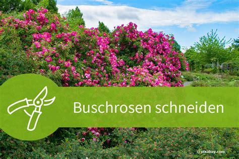 Garten Was Im Herbst Schneiden by Buschrosen Schneiden Anleitungen Und Schnittgesetze