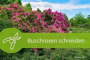 Wann Schneidet Man Rosen : buschrosen schneiden anleitungen und schnittgesetze ~ Eleganceandgraceweddings.com Haus und Dekorationen