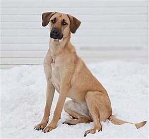 Great Dane Shepherd Mix Puppies He Is A Mix Of Great Dane ...