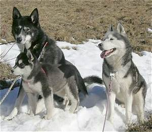 Puppy Sled Dogs
